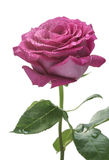 Closeup of pink rose blossom Stock Image