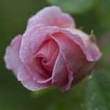 A closeup of pink rose bud covered with morning dew. Closeup of pink rose flower covered with morning dew on green background Stock Image