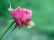 Closeup of a pink rose covered with frost Royalty Free Stock Image