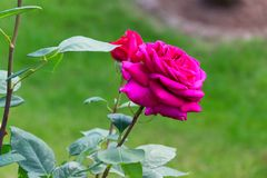 Blooming pink rose with opening petals - Garden flowers, blossoms. Closeup of a pink rose with dense and big open petals stock photo