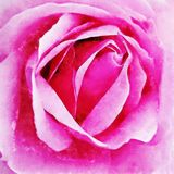 Closeup Pink Rose Fine Art. Digital painting created by hand using several techniques to resemble watercolor on paper Royalty Free Stock Photos