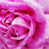 Closeup Pink Rose Fine Art. Digital painting created by hand using several techniques to resemble watercolor on paper Royalty Free Stock Image
