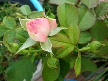 Pink rose flower buds. Closeup pink rose flower buds on tree royalty free stock photography