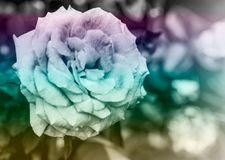 Closeup pink rose flower Royalty Free Stock Photo