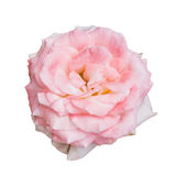 Closeup pink rose flower Royalty Free Stock Photography