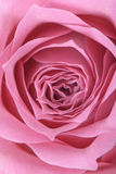 Closeup of pink rose. In full bloom Royalty Free Stock Photo