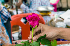 Closeup pink rose with hand Royalty Free Stock Images