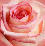 Closeup of pink rose. For holiday card or background Stock Photos