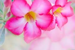 Closeup pink rose impala lily. Royalty Free Stock Photo
