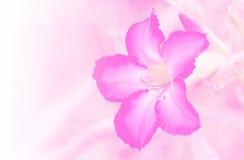 Closeup pink rose impala lily. Stock Image