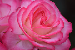 Closeup of a Pink Rose. Rose, King of flowers in a closeup shot Stock Images