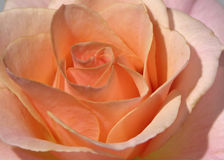 Closeup pink rose Stock Photos