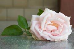 Closeup pink rose. Stock Images