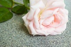 Closeup pink rose. Royalty Free Stock Image