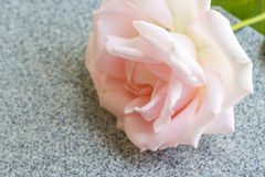 Closeup pink rose. Royalty Free Stock Photos