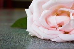 Closeup pink rose. Stock Photo
