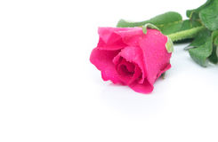 Closeup pink rose sweet color flower with water drop on white ba Stock Images