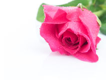 Closeup pink rose sweet color flower with water drop on white ba Royalty Free Stock Image