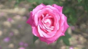 Closeup of pink rose Stock Photo