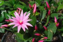 Closeup of pink schlumbergera flower Stock Photos