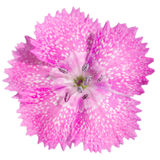 Closeup of a sweet william flower Stock Image