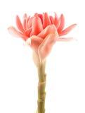 Closeup pink torch ginger flower etlingera Stock Photos