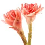 Closeup pink torch ginger flower etlingera elatior Royalty Free Stock Photography