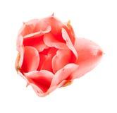Closeup pink torch ginger flower etlingera elatior Royalty Free Stock Photos