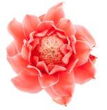 Closeup pink torch ginger flower etlingera elatior Royalty Free Stock Images