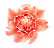 Closeup pink torch ginger flower etlingera elatior Royalty Free Stock Image