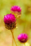 Closeup of pink tropical flowers in meadow Stock Image