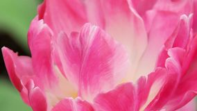 Closeup of a pink tulip.  stock video footage