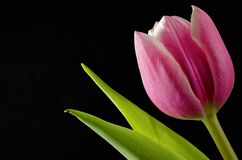 Closeup of pink tulip. On black background Royalty Free Stock Image