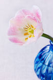Closeup pink tulip in blue vase Royalty Free Stock Photos