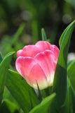 Pink tulip closeup Stock Photo