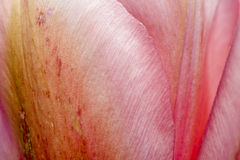 Closeup of Pink Tulip Petals Stock Photo