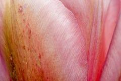 Closeup of Pink Tulip Petals stock photo
