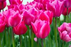 Closeup pink tulips holiday panoramic background Royalty Free Stock Photos