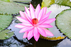 Closeup pink waterlily or lotus flower. Stock Photography