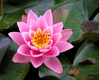 Closeup of pink waterlily in a pond Royalty Free Stock Photo