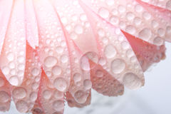 Closeup pink wet gerbera Royalty Free Stock Photos