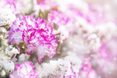 Closeup Pink and white carnation flower over blurred flower background Stock Photo