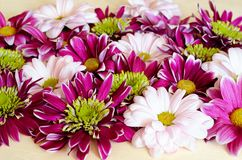 Closeup of pink and white chryzanthemum flowers stock images