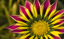 Closeup of a Pink Yellow Green Orange color Gazania flower. Close view of a beautiful colorful Gazania flower. They make large, daisy-like composite flowers in Stock Photo