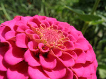 Closeup of pink zinnia Royalty Free Stock Photography