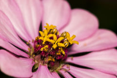 Closeup of a pink Zinnia flower in a garden. Closeup of a beautiful pink Zinnia flower in a garden. Zinnia is a genus of plants of the sunflower tribe within the Stock Images