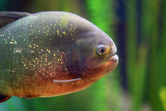 Closeup of a piranha Royalty Free Stock Photo