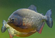 Closeup of a Pirhana Fish Royalty Free Stock Photography