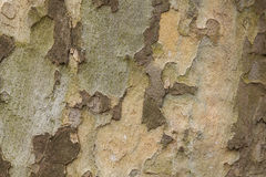 Closeup of plane tree trunk Stock Photography