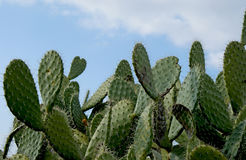 Closeup of plant of prickly pear. 1 Royalty Free Stock Photo